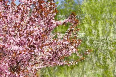 Blutpflaume: Früchte, Pflanzen & Pflegen der Zierpflaume