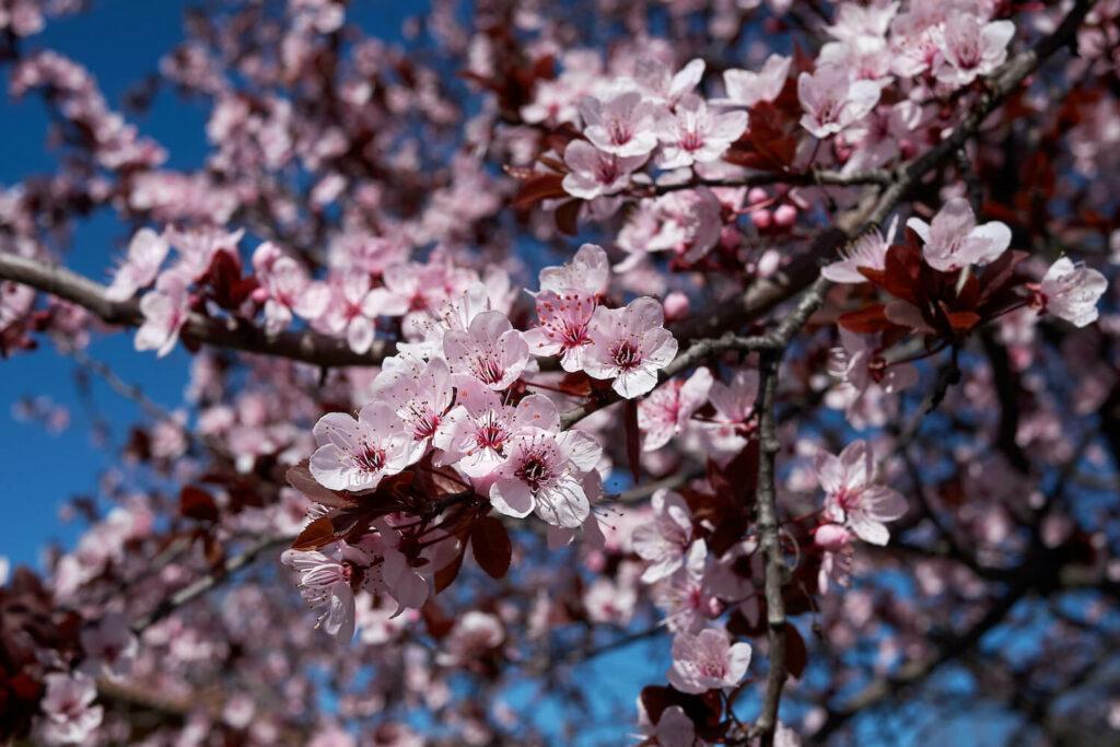 Blüten der Blutpflaume