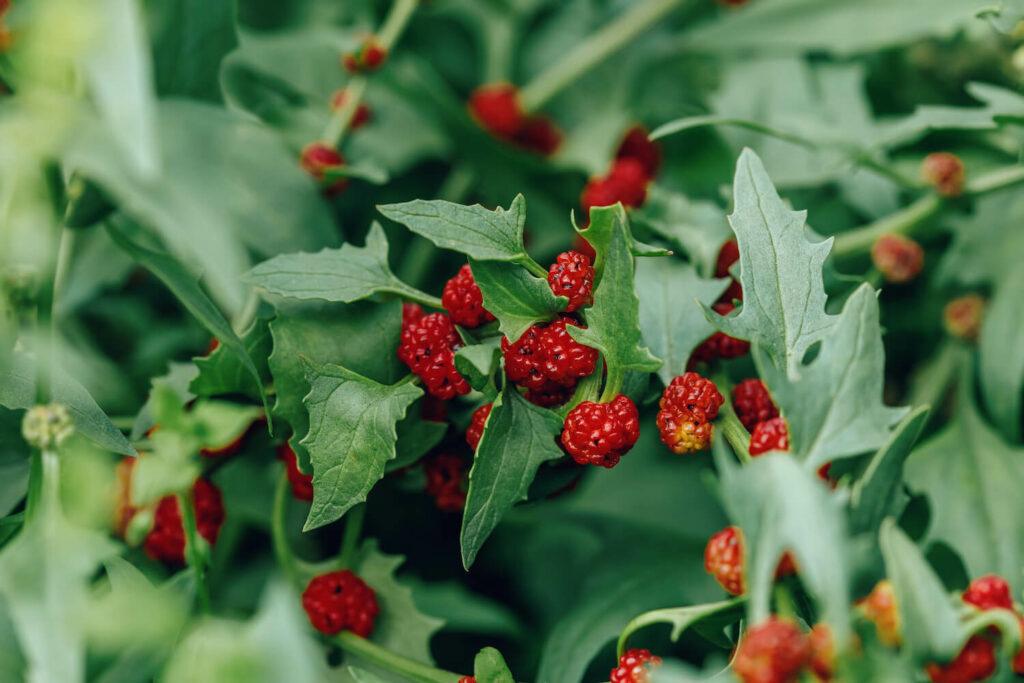 Erdbeerspinat: Sorten, Anpflanzen, Ernte und mehr