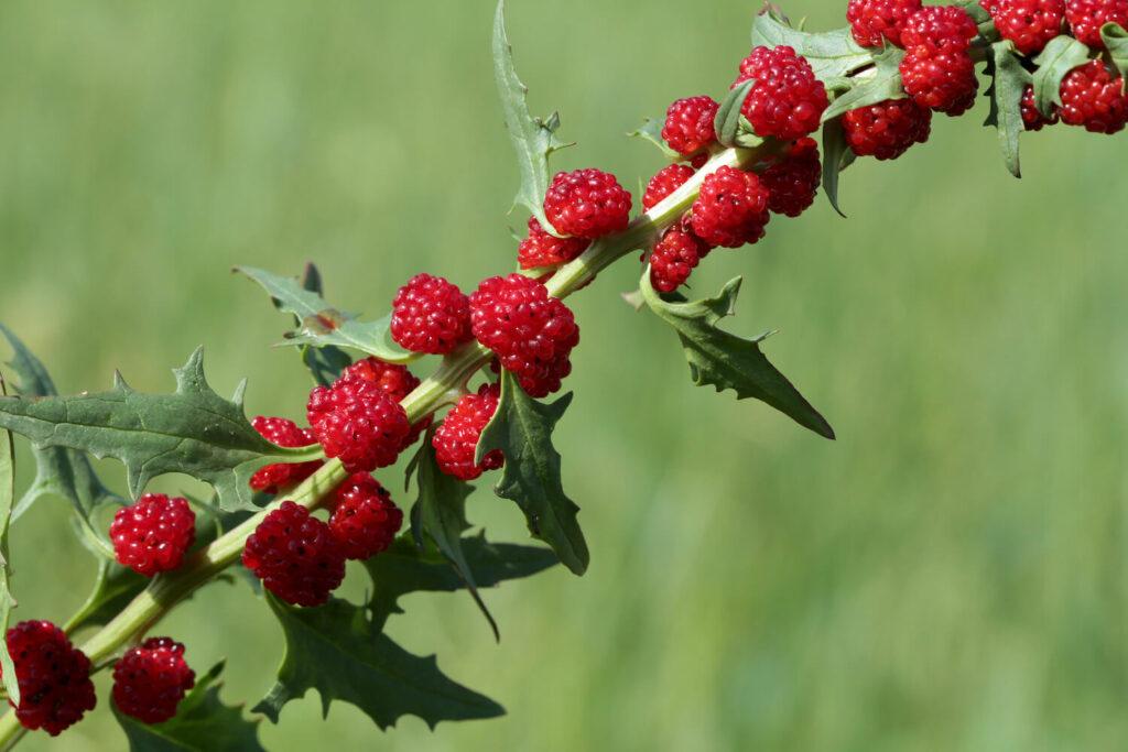 Früchte des Erdbeerspinats