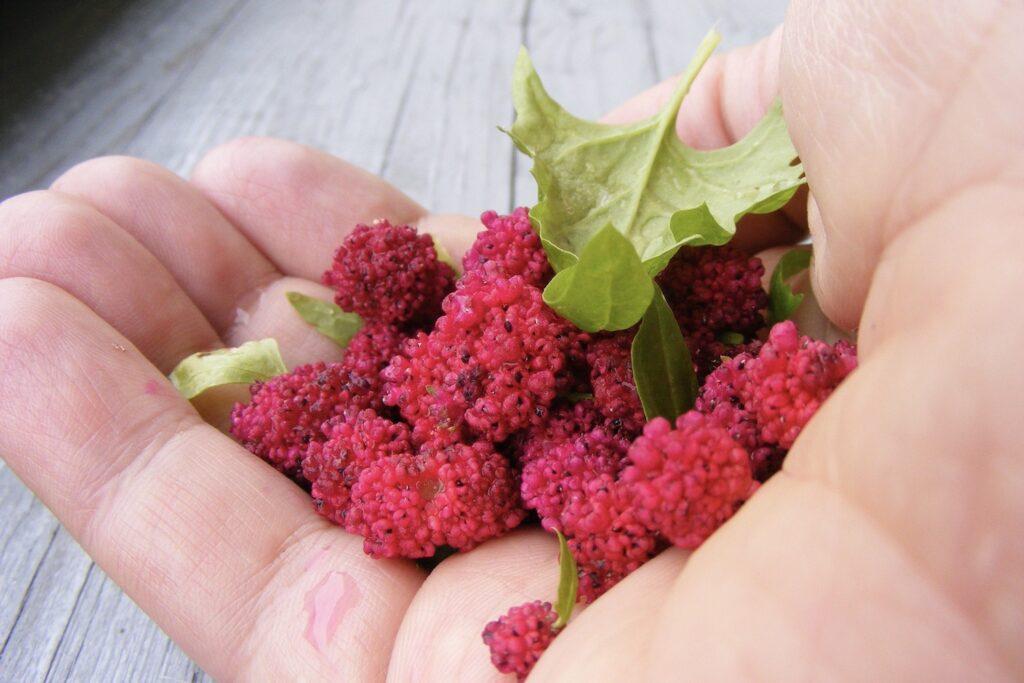 geerntete Erdbeerspinat-Früchte