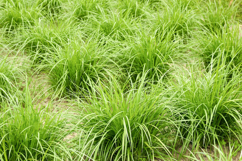 Tigernuss-Pflanze