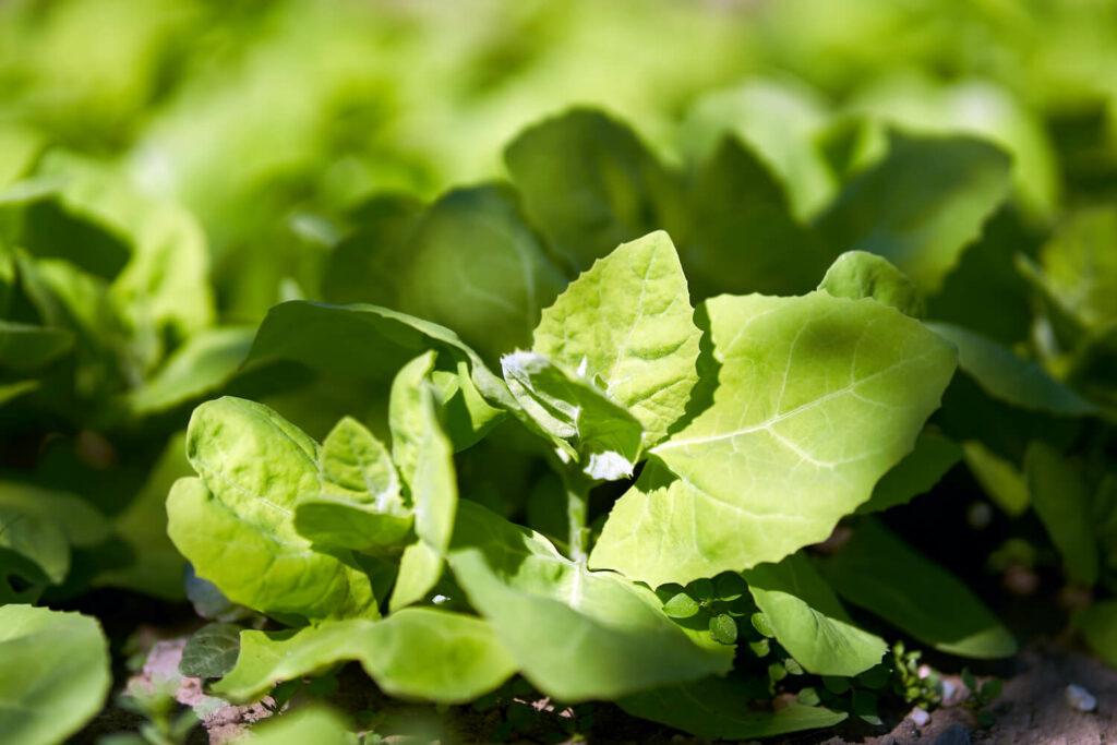 Gartenmelde-Pflanze