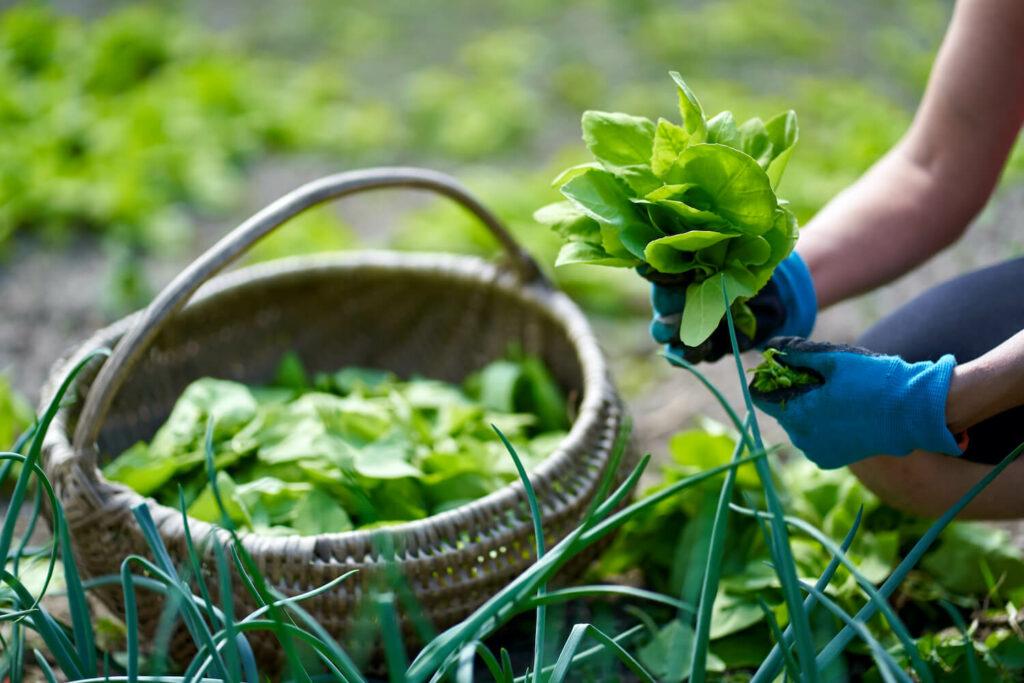 Ernte der Gartenmelde