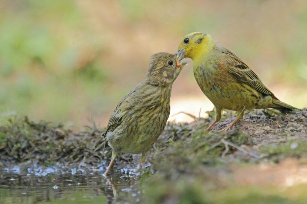 Füttern eines Goldammer-Jungvogels