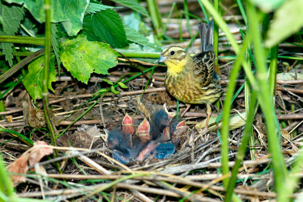 Goldammer-Babys im Nest