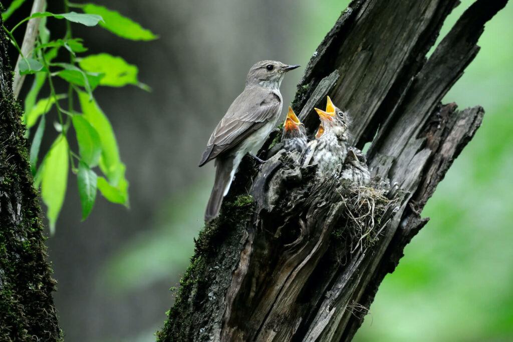Grauschnäpper-Nest mit Babys
