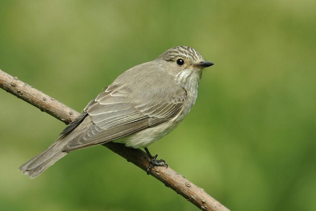 Vogel der Art Grauschnäpper