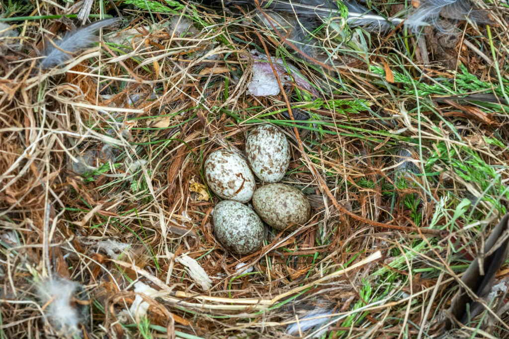 Haussperling-Eier im Nest