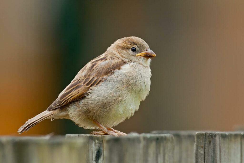 Haussperling-Jungvogel auf Zaun