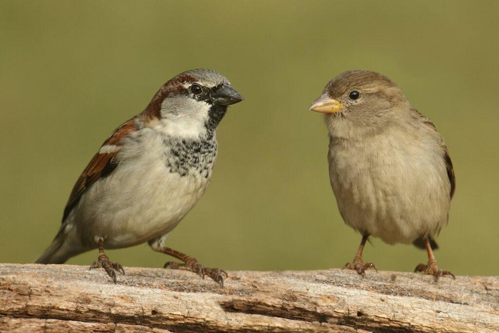 Haussperling-Weibchen neben Männchen