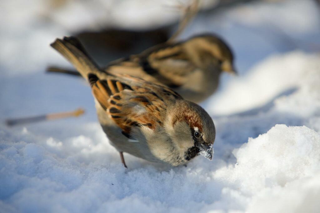 Haussperling im Winter