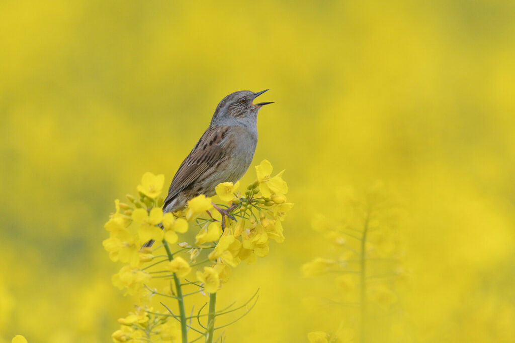 Heckenbraunelle: Jungvögel, Nest, Bilder & mehr