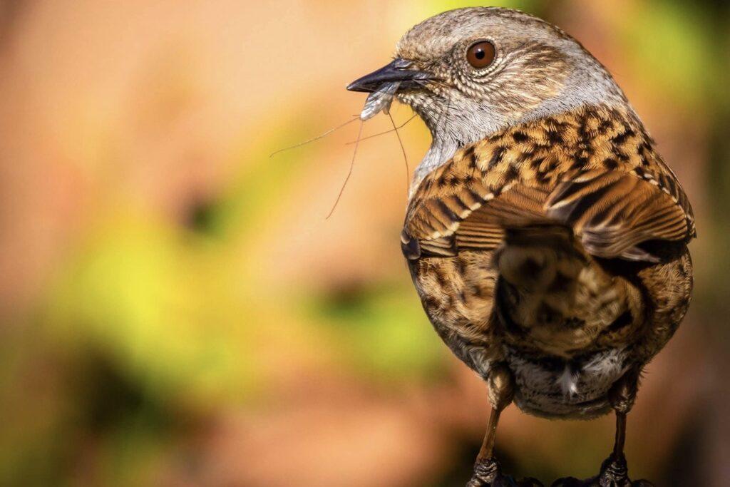 Heckenbraunelle mit Insekt als Futter