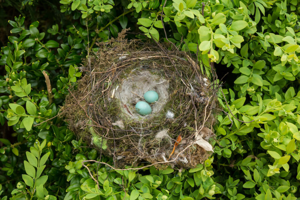 Heckenbraunelle-Eier im Nest