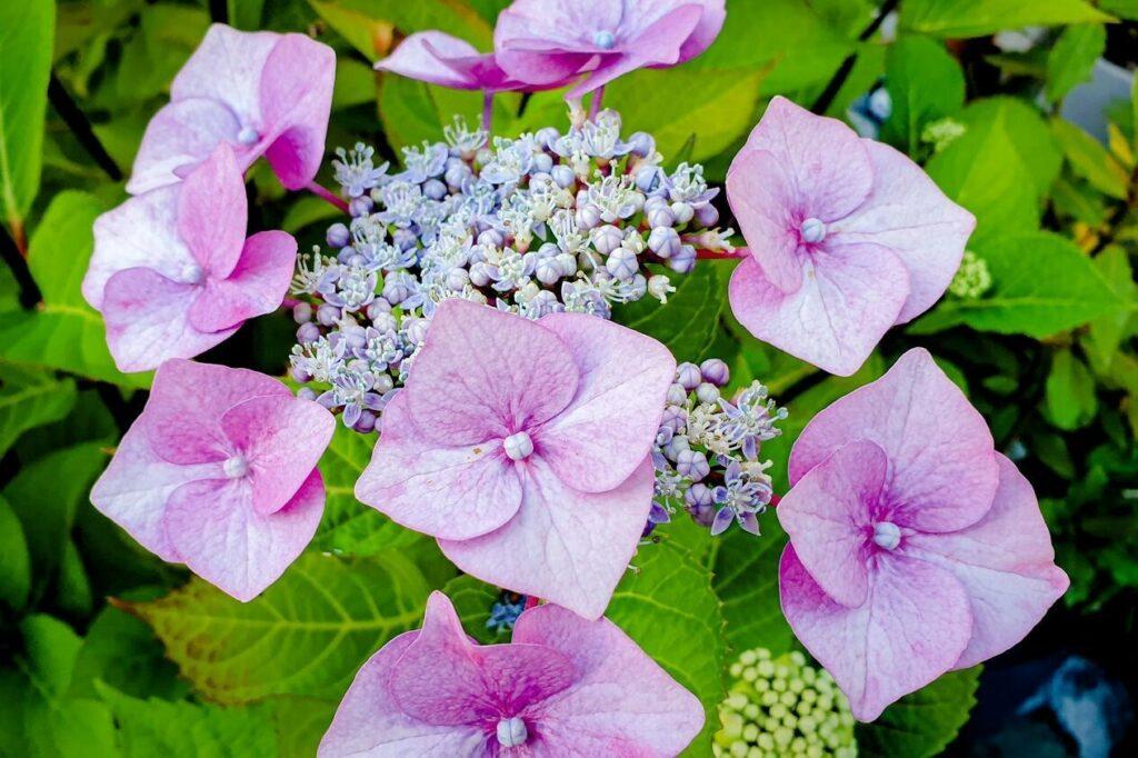 Die wunderschöne Blüte der Bauernhortensie