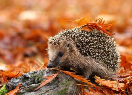 Igel Im Herbst
