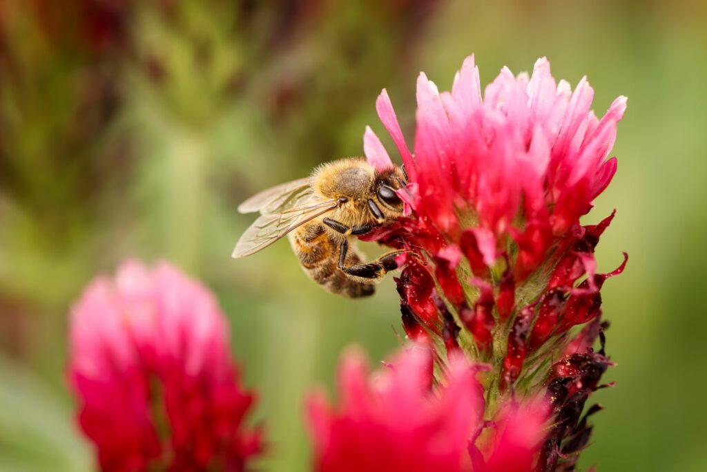 Biene auf Rosenklee-Blüte