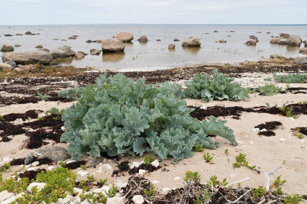 Meerkohl: Pflanzen & Pflegen des Strandkohls