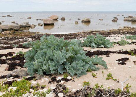 Der Meerkohl Wächst Am Strand
