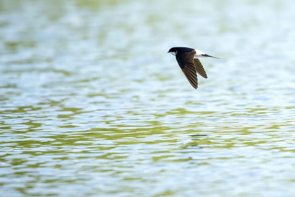 Mehlschwalbe im Flug