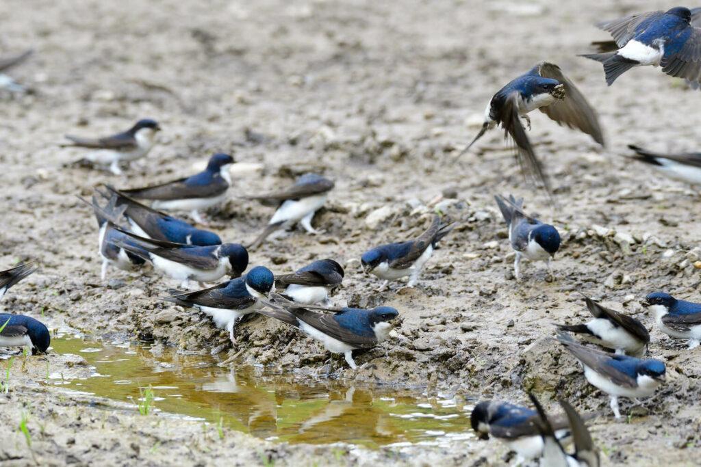 Lehm als Nistmaterial für Mehlschwalben