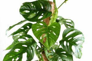 Monstera Monkey Leaf Als Zimmerpflanze