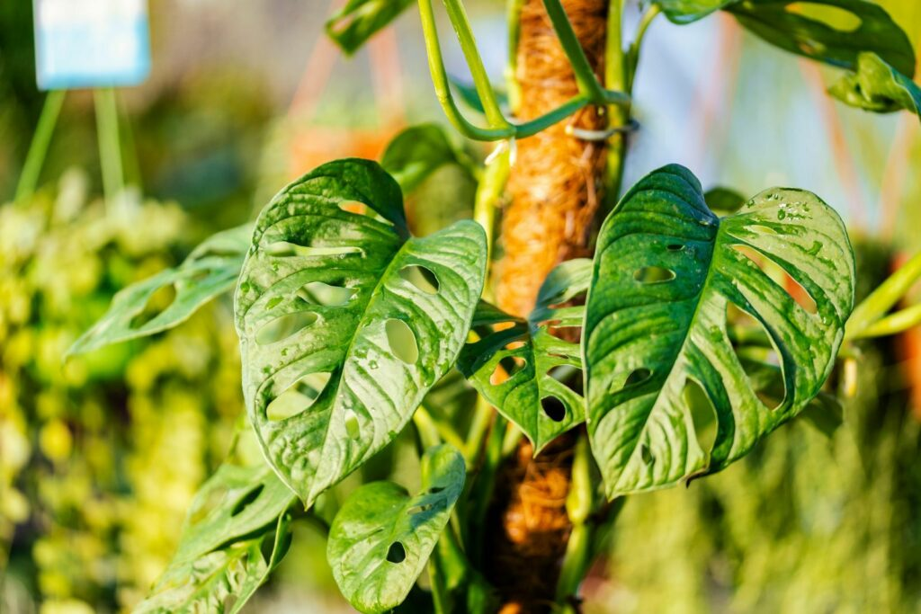 Blätter der Monstera Monkey Leaf