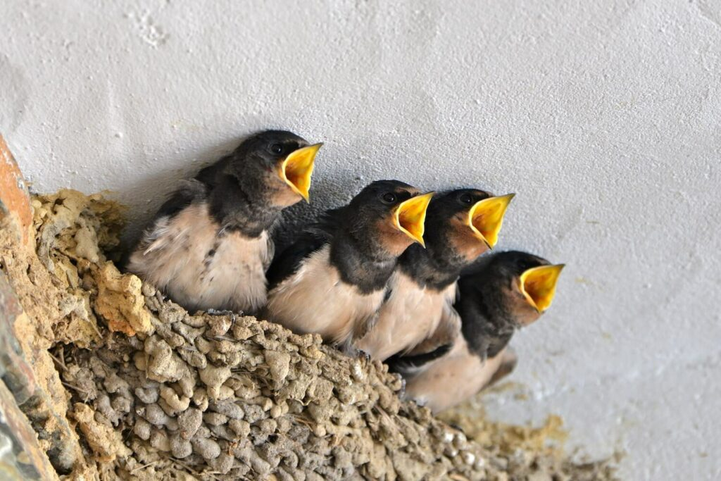 Rauchschwalben-Babys im Nest