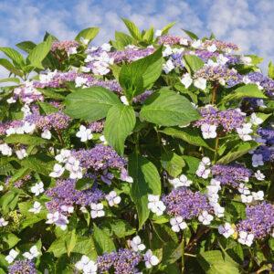 Samthortensie In Blütezeit
