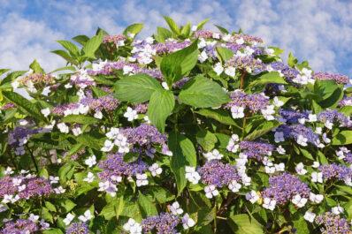Samthortensie: Pflanzen, pflegen & schneiden