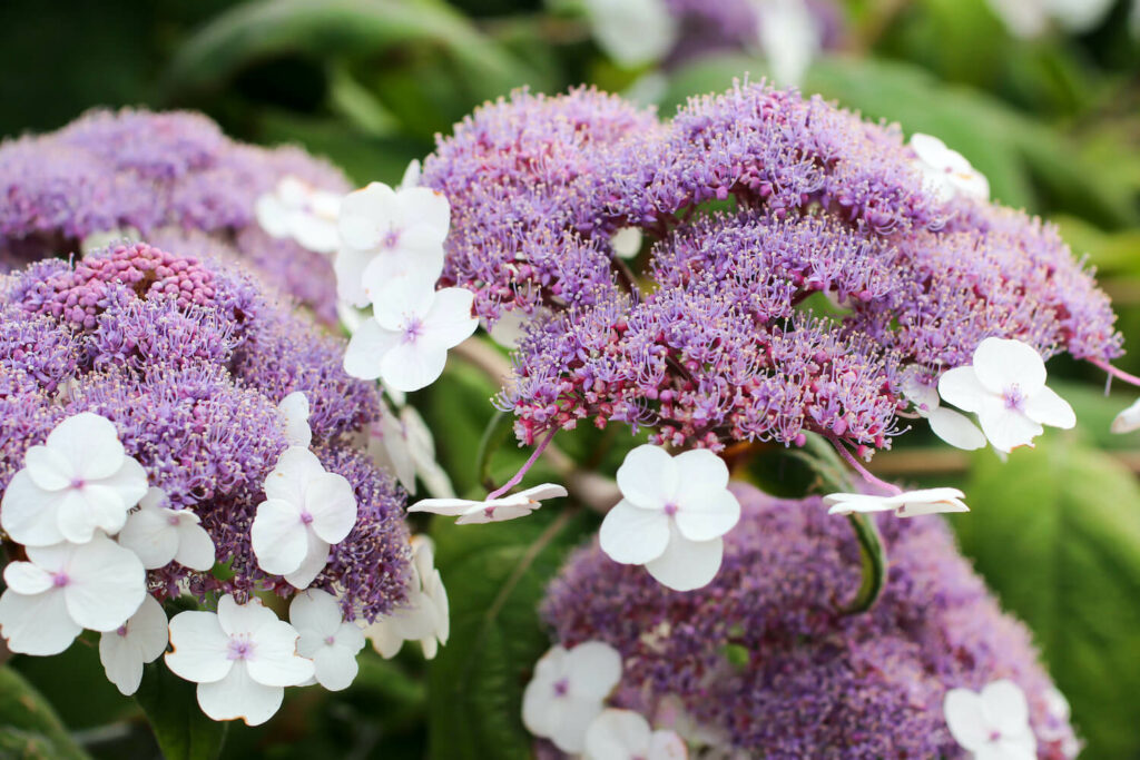 Samthortensie mit lila Blüten