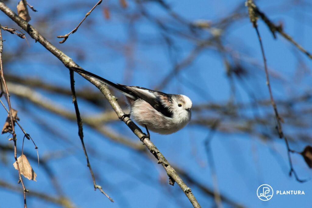 Schwanzmeise in Baum
