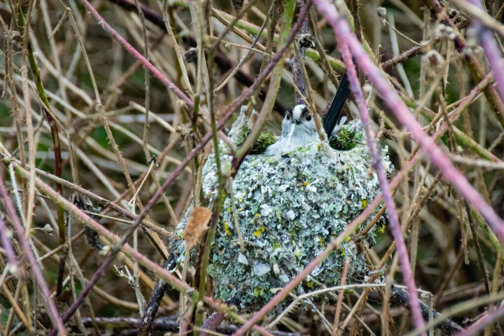 Nest der Schwanzmeise