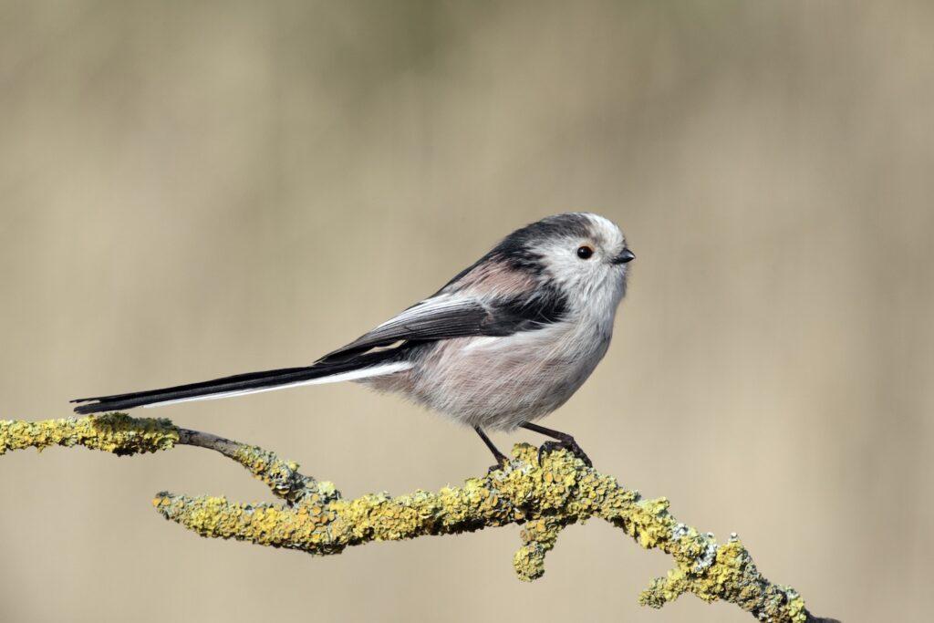 Vogel der Art Schwanzmeise