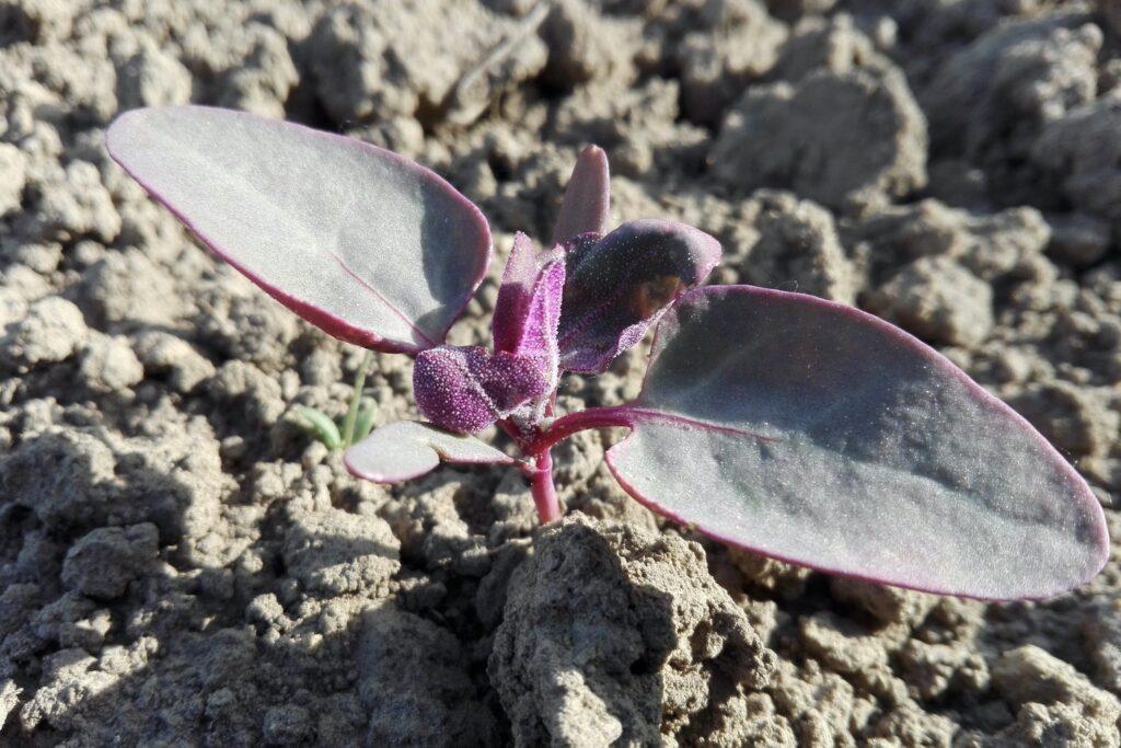 eingepflanzter Spanischer Salat