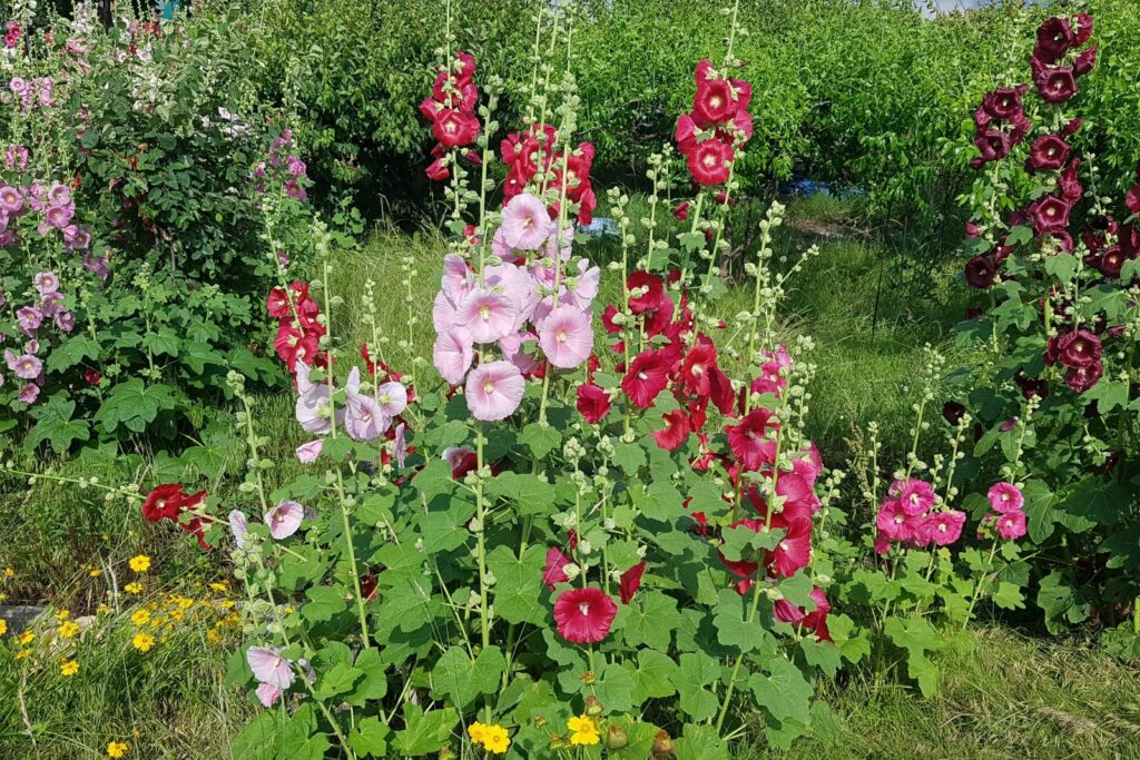 Blühende Stockrosen im Garten