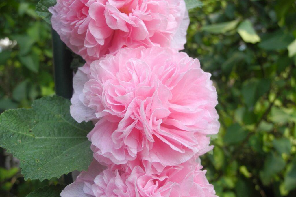 Gefüllte rosa Stockrosen-Blüten