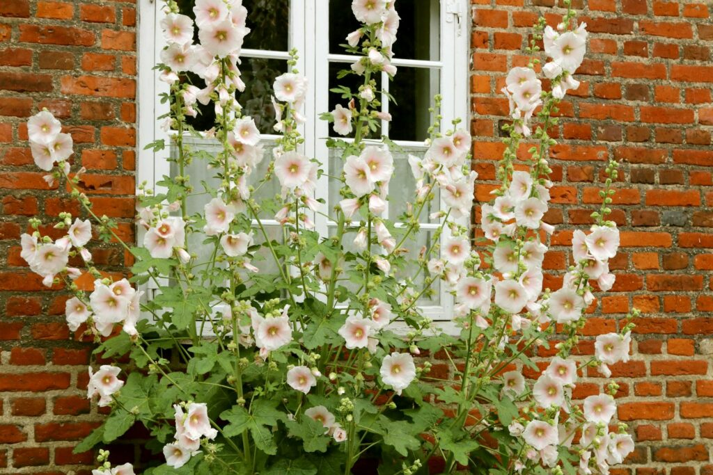 Weiße Stockrosen vor einer Hauswand