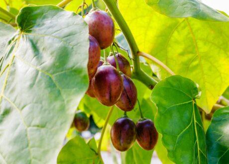 Baumtomate Mit Reifen Früchten