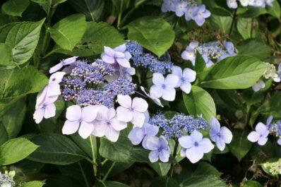 Tellerhortensie: Alles zum Pflanzen, Pflegen & Schneiden
