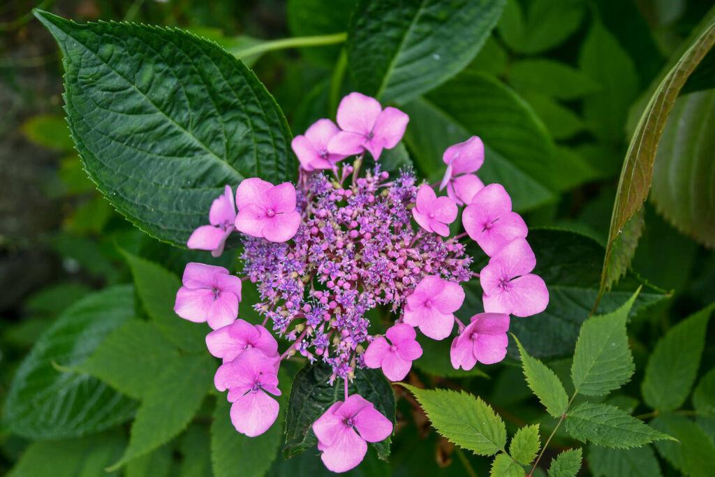 pinke Blüte einer Tellerhortensie