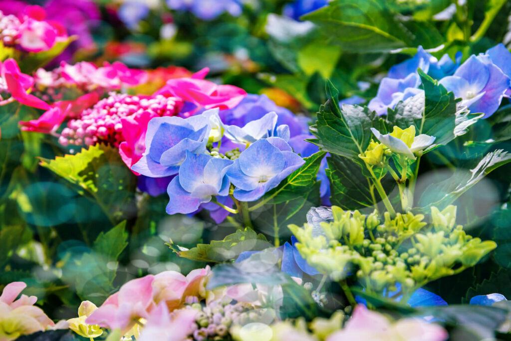 Tellerhortensien in Blütezeit