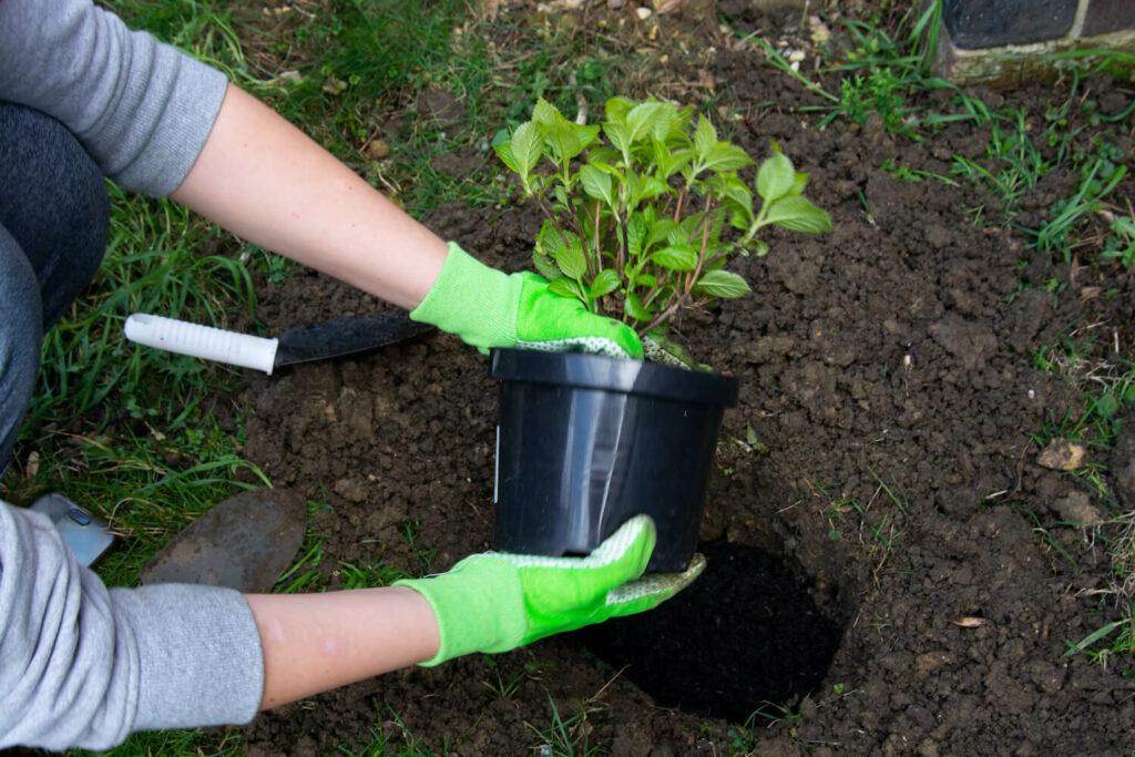 Einpflanzen einer Tellerhortensie