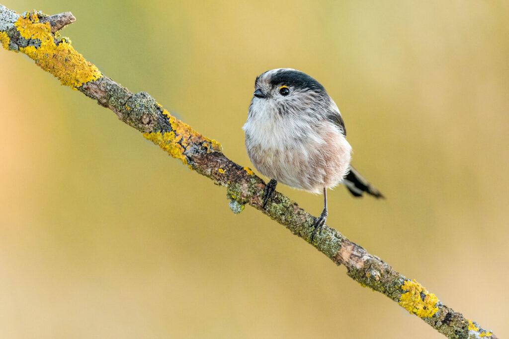 Schwanzmeise: Bilder, Lebensraum, Nest & mehr im Steckbrief