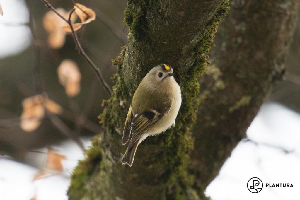 Wintergoldhähnchen auf Baum