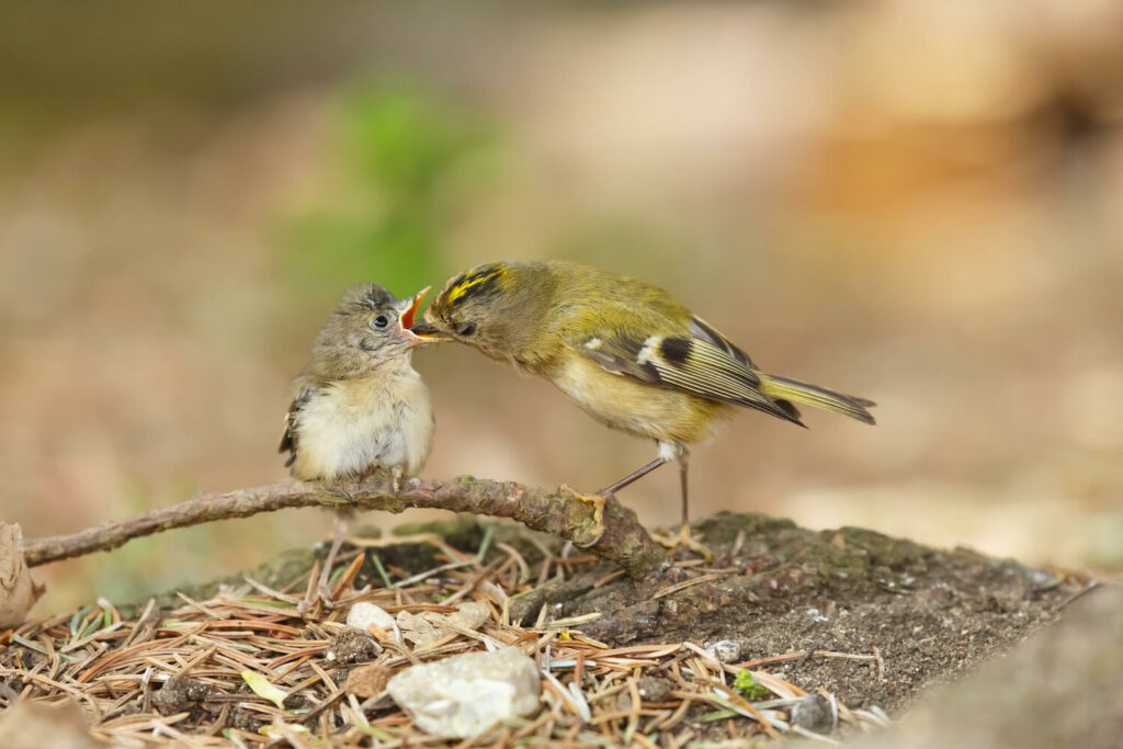 Füttern des Wintergoldhähnchens