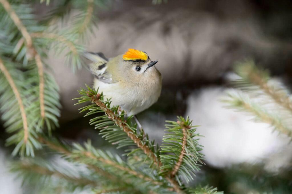 Wintergoldhähnchen-Männchen auf Ast