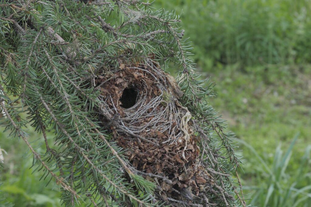 Nest des Wintergoldhähnchens