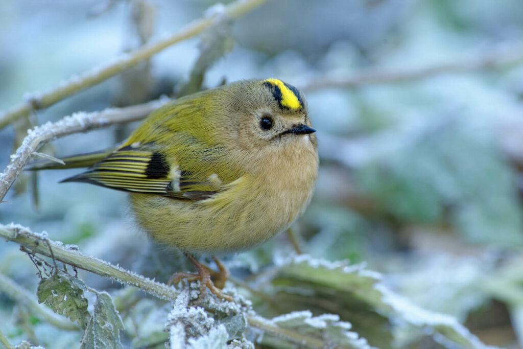Wintergoldhähnchen-Weibchen auf Ast
